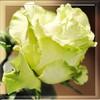 цветы аватарки 100 на 100